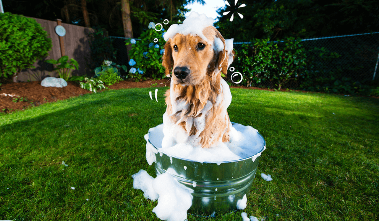 A Labrador in a soapy tin bath in the garden