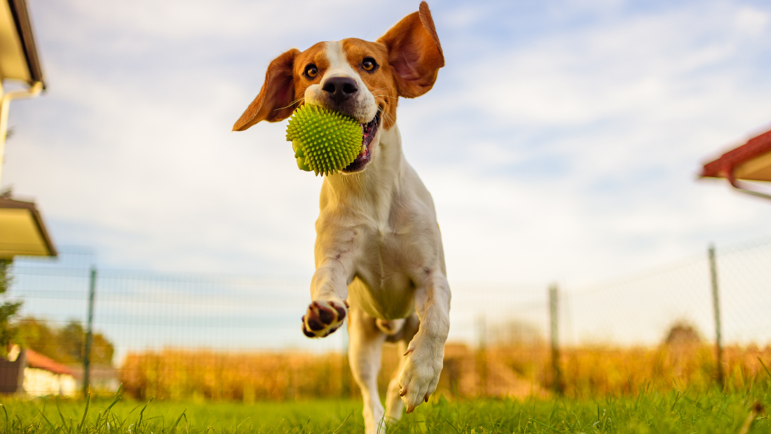 A dog jumping in a garden with a ball in its mouth