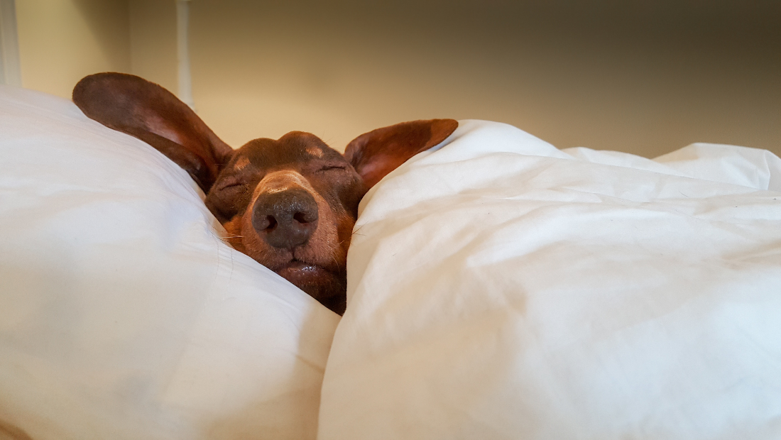A dog asleep in a bed with white sheets